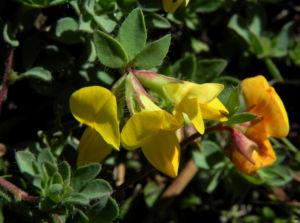 Alpen Hornklee Bluete gelb Lotus alpinus 30
