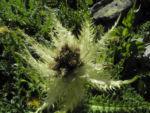 Alpen Kratzdistel Cirsium spinosissimum 01