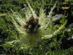 Alpen Kratzdistel Cirsium spinosissimum 04