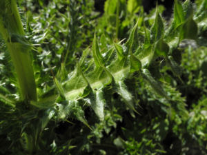 Alpen Kratzdistel Cirsium spinosissimum 05