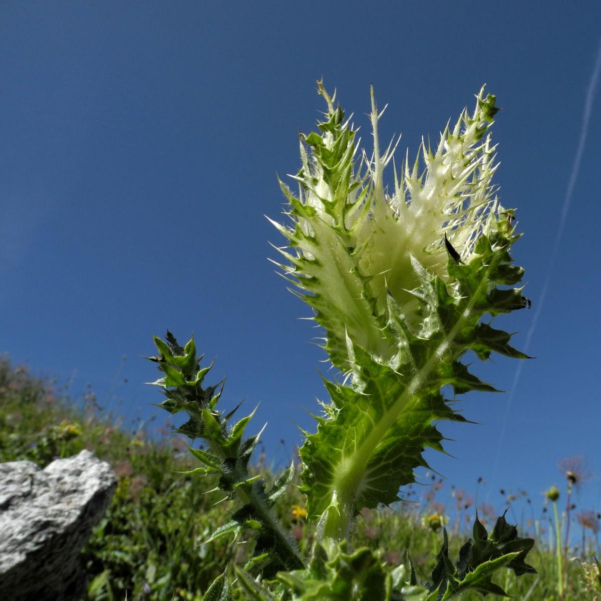 Alpen Kratzdistel Cirsium spinosissimum