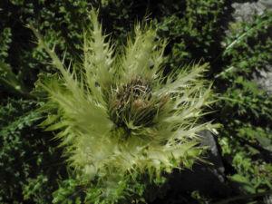 Alpen-Kratzdistel Cirsium spinosissimum