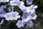 Alpen Lein Bluete hell blau Linum alpinum 03