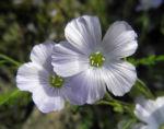 Bild:  Alpen-Lein Blüte hell blau Linum alpinum