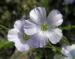 Zurück zum kompletten Bilderset Alpen-Lein Blüte hell blau Linum alpinum