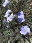 Alpen Lein Bluete hellblau Linum alpinum 07