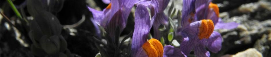 alpen-leinkraut-bluete-lila-orange-linaria-alpina