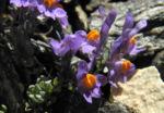 Bild:  Alpen-Leinkraut Blüte lila orange Linaria alpina
