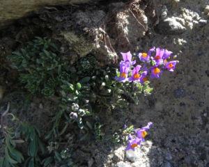 Alpen Leinkraut Bluete lila orange Linaria alpina 24