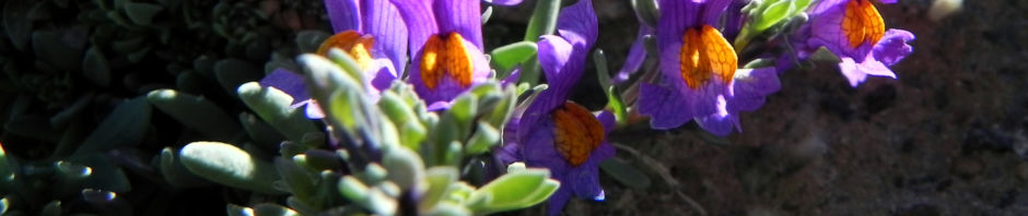 Anklicken um das ganze Bild zu sehen Alpen-Leinkraut Blüte lila orange Linaria alpina