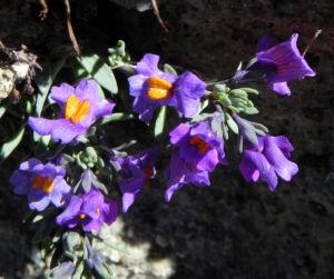 Alpen Leinkraut Bluete lila orange Linaria alpina 31