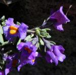 Alpen Leinkraut Bluete lila orange Linaria alpina 32