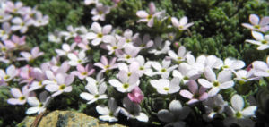 Alpen Mannsschild Bluete pink Androsace alpina 03