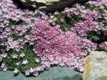 Alpen Mannsschild Bluete pink Androsace alpina 05