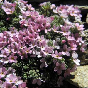 Alpen Mannsschild Bluete pink Androsace alpina 06