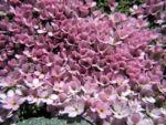 Alpen Mannsschild Bluete pink Androsace alpina 07