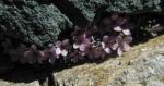 Alpen Mannsschild Bluete pink Androsace alpina 10