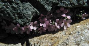 Alpen-Mannsschild Blüte pink Androsace alpina