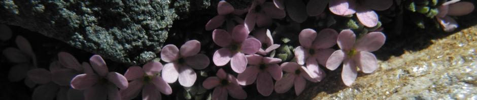 alpen-mannsschild-bluete-pink-androsace-alpina