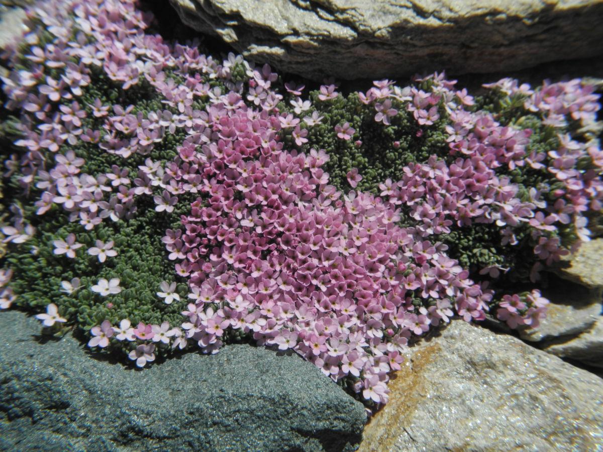Alpen Mannsschild Bluete pink Androsace alpina