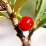 Bild: Alpen Seidelbast Früchte rot Daphne alpina