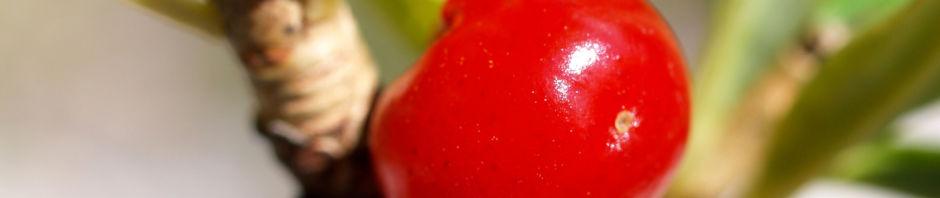 Anklicken um das ganze Bild zu sehen  Alpen Seidelbast Früchte rot Daphne alpina