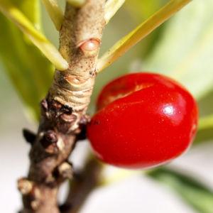 Alpen Seidelbast Fruechte rot Daphne alpina 05