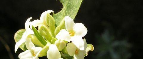 Anklicken um das ganze Bild zu sehen Alpen-Seidelbast Strauch Blüte weiß Daphne alpina
