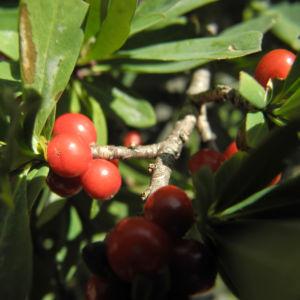Alpen Seidelbast Strauch Frucht rot Daphne alpina 01