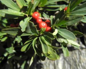 Alpen Seidelbast Strauch Frucht rot Daphne alpina 02