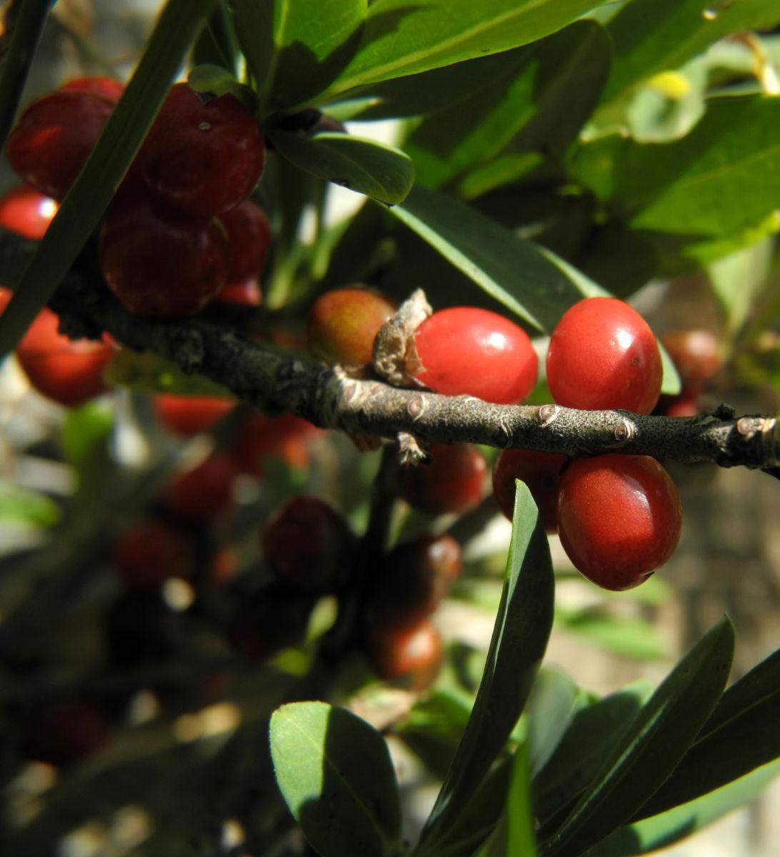 Alpen Seidelbast Strauch Frucht rot Daphne alpina