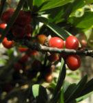 Alpen Seidelbast Strauch Frucht rot Daphne alpina 03