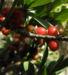 Zurück zum kompletten Bilderset Alpen-Seidelbast Frucht rot Daphne alpina