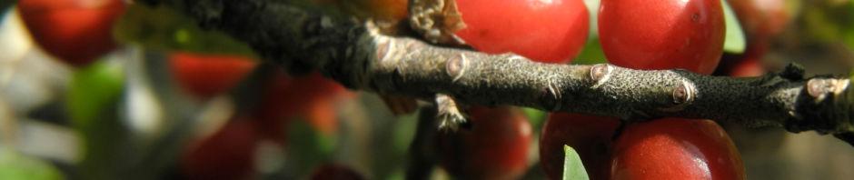 Anklicken um das ganze Bild zu sehen  Alpen-Seidelbast Frucht rot Daphne alpina