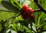 Alpen Seidelbast Strauch Frucht rot Daphne alpina 04