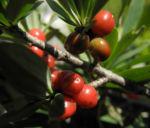 Alpen Seidelbast Strauch Frucht rot Daphne alpina 05
