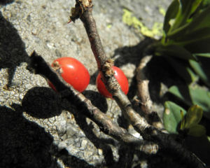 Alpen Seidelbast Strauch Frucht rot Daphne alpina 06