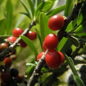Alpen Seidelbast Strauch Frucht rot Daphne alpina 11