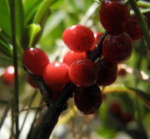 Alpen Seidelbast Strauch Frucht rot Daphne alpina 12
