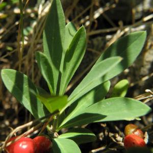 Alpen Seidelbast Strauch Frucht rot Daphne alpina 13