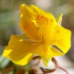 Alpen Sonnenroeschen Kraut Bluete gelb Helianthemum alpestre 01