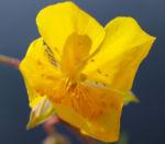 Alpen Sonnenroeschen Kraut Bluete gelb Helianthemum alpestre 02