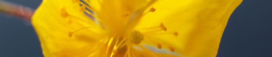 alpen-sonnenroeschen-kraut-bluete-gelb-helianthemum-alpestre