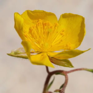 Alpen Sonnenroeschen Kraut Bluete gelb Helianthemum alpestre 04