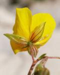 Alpen Sonnenroeschen Kraut Bluete gelb Helianthemum alpestre 06