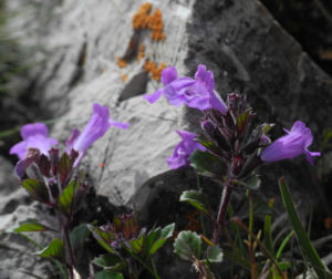 Alpen Steinquendel Bluete lila Acinos alpinus 01