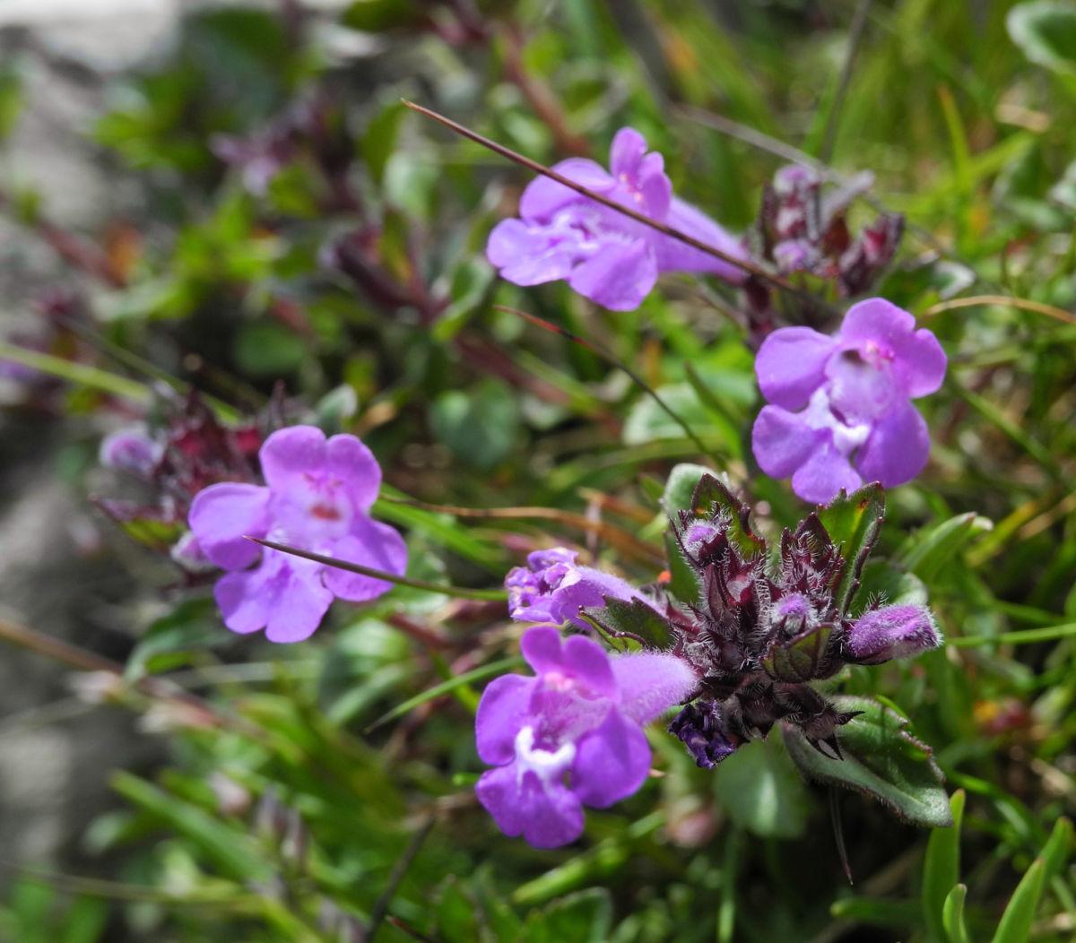 Alpen Steinquendel Bluete lila Acinos alpinus