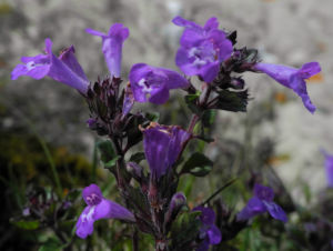 Alpen Steinquendel Bluete lila Acinos alpinus 06