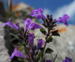 Alpen Steinquendel Bluete lila Acinos alpinus 08