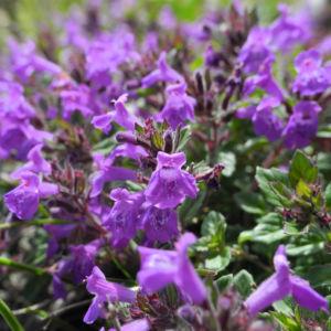Alpen Steinquendel Bluete lila Acinos alpinus 11